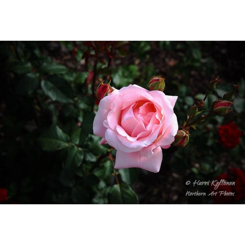 Vaaleanpunainen ruusu - Canvas-taulu