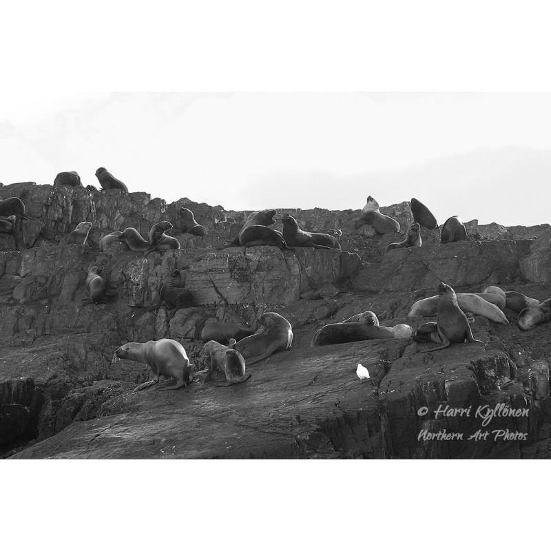 Merileijonat - Canvas-taulu