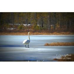 Spring Swan - Canvas print