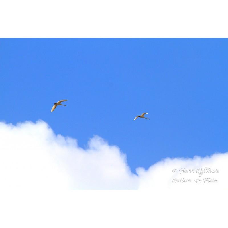 Joutsenet ja sininen taivas - Canvas-taulu