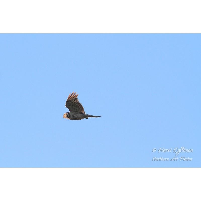 Hiiripöllön lento - Canvas-taulu