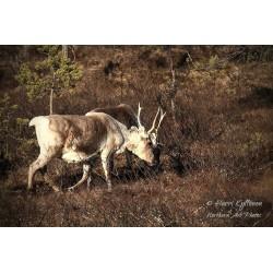 Reindeers - Canvas print