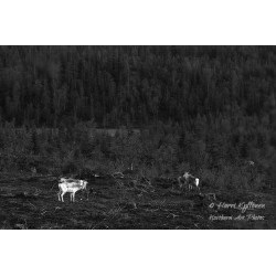 Reindeers on fjeld - Canvas...