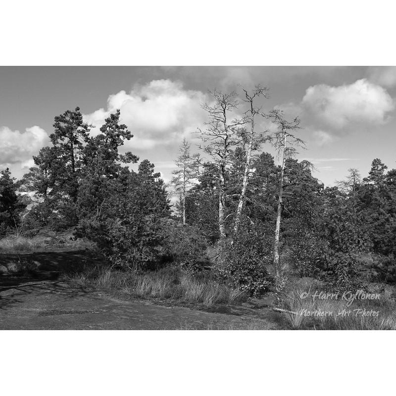 Puut kalliolla II - Canvas-taulu