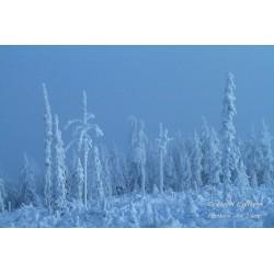 Arctic forest - Canvas print