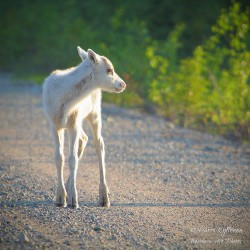 White reindeer fawn -...