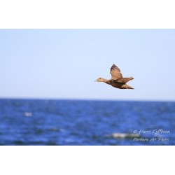 Eider fly-by - Canvas print