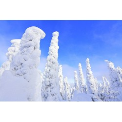Crown snow forest - Canvas...