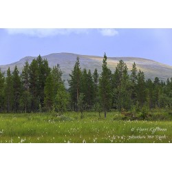 Cottongrass meadow - Canvas...