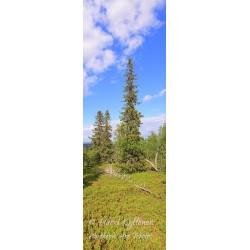 Pohjoisen puut - HD - Canvas-taulu