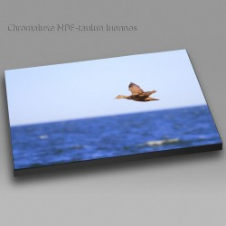 Eider fly-by - Chromaluxe picture