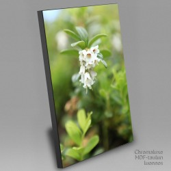 Lingonberry flowers - Chromaluxe picture