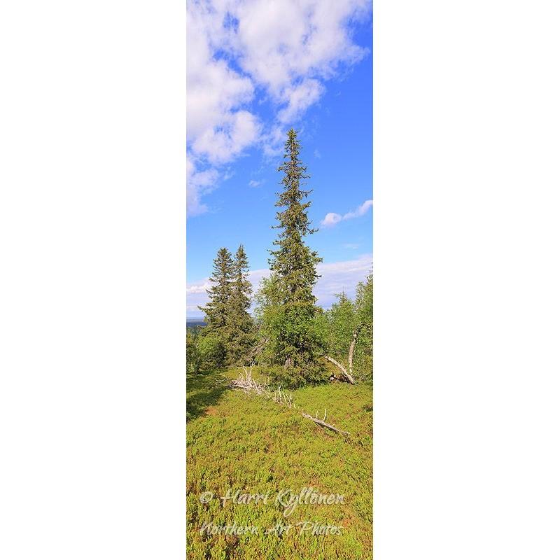 Pohjoisen puut - Tapetti