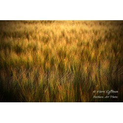 Barley field - Wallpaper