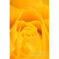Yellow rose - Wallpaper