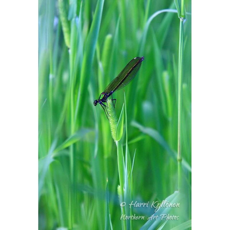 Sininen sudenkorento - Tapetti