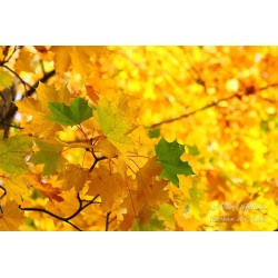 Autumn leaves - Wallpaper