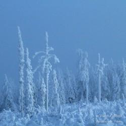 Arktinen metsä - Canvas-taulu