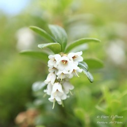 Lingonberry flowers -...