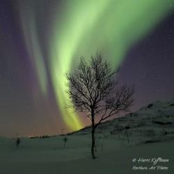 Aurora birch - Poster