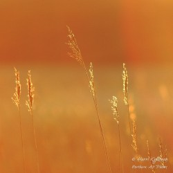 Kultaiset heinät - Juliste