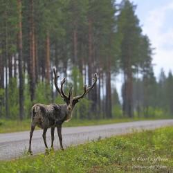 Standing reindeer in the rain - Poster