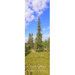 Pohjoisen puut - Juliste