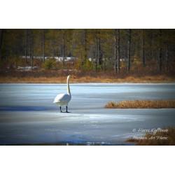 Spring Swan - Poster