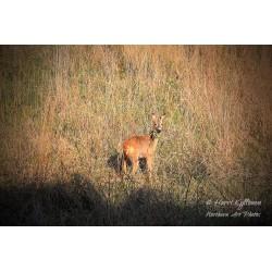 Deer - Poster