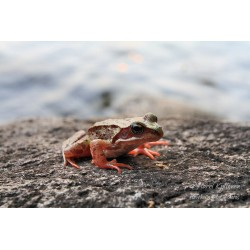 Frog on the rock - Poster