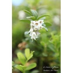 Puolukan kukat - Juliste