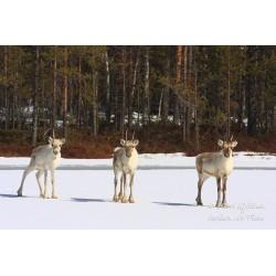 Three Reindeers - Poster