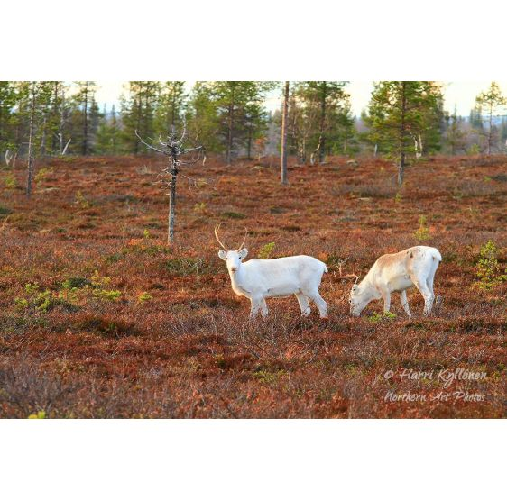 Two young reindeers - Poster