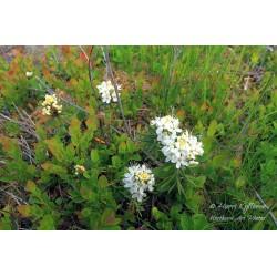 Wild Rosemary - Poster
