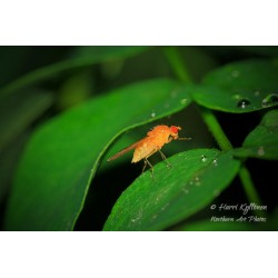 Yellow fly on a leaf - Poster