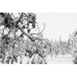 Lumiset oksat - Juliste