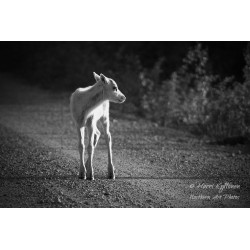 White reindeer fawn bw -...
