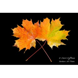 Maple leaves - Poster