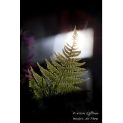 Fern at the window - Poster