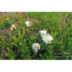 Wild Rosemary - Puzzle