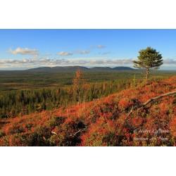 Outlandish spruce - Puzzle