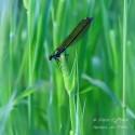 Sininen sudenkorento - Canvas-taulu
