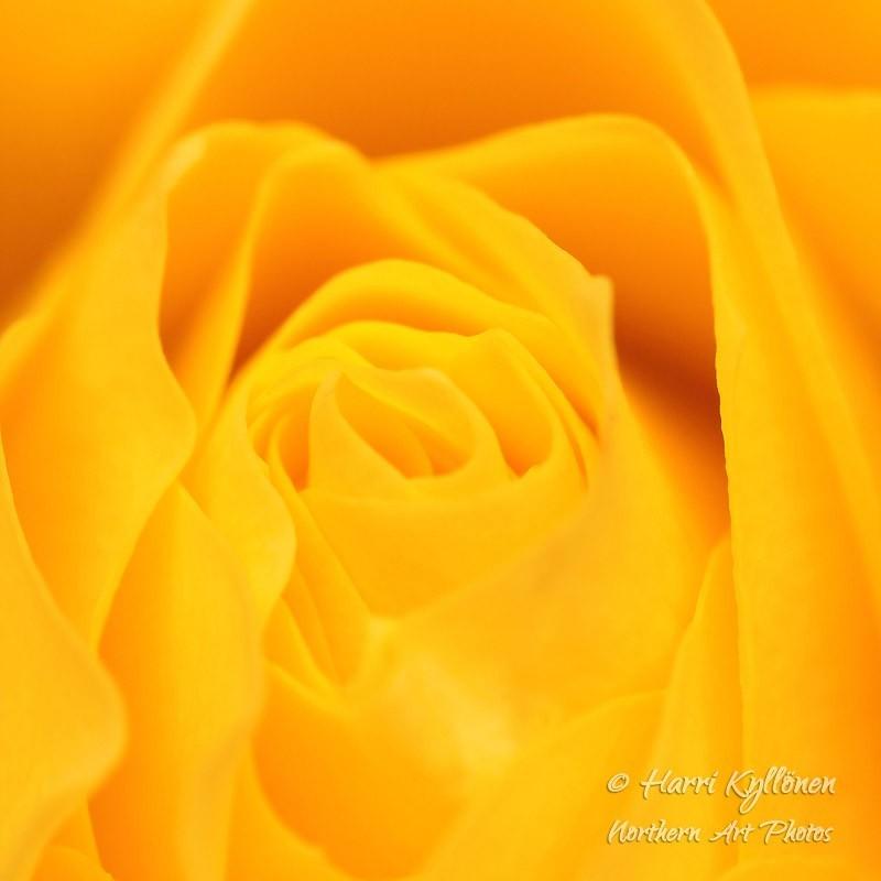 Keltainen ruusu - Canvas-taulu
